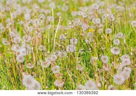 Dandelions On Green Meadow