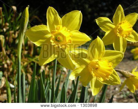 Classic Yellow Daffodils