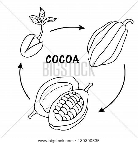 The life cycle of cocoa. Vector illustration.