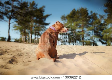 American Staffordshire Terrier Dog Sitting In The Sand