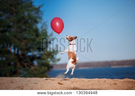 Dog Jack Russell Terrier Jumps In The Air To Catch Flying Balloons