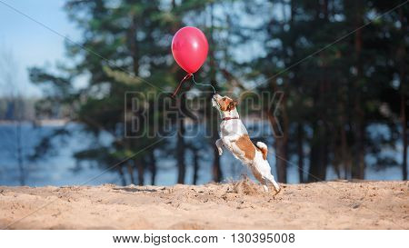 Dog Jack Russell Terrier jumps in the air to catch flying balloons dog playing with balloon