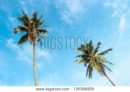Two Coconut tree with bright sky background.