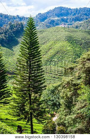 Green landscape of tea plantations Cameron highlands Malaysia