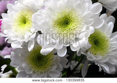 Macro Of White Flower Aster