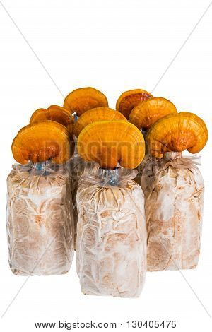 Lingzhi mushroom Ganoderma lucidum in nursery bag isolated on white background Chinese traditional medicine (nutritive value).