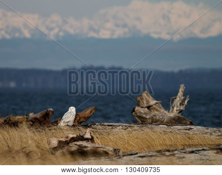 A Snowy Owl at the beach with mountains in the background