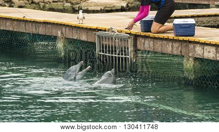 Animal trainer feeding fish to hungry pair of dolphins in bridge over water summer vacation tropical destination scene.