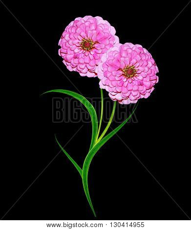 Autumn asters flower isolated on black background