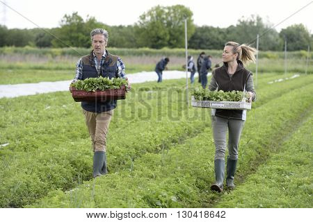 Farmers walking in field with tray of vegetables