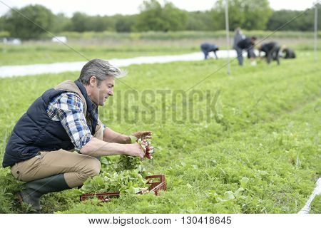 Man knelt in field collecting radish