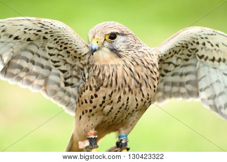 European kestral falco tinnunculus stretching wings in the sun