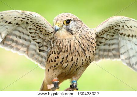 European kestral falco tinnunculus stretching wings in the sun