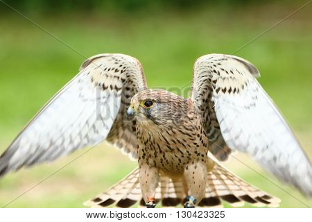 European kestral falco tinnunculus stretching wing out in the sun