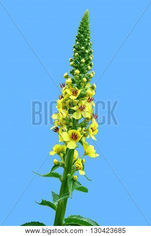 Agrimony Latin name Agrimonia eupatoria in flower
