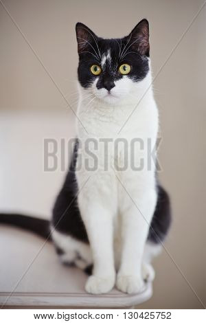 Domestic cat of a black-and-white color sits