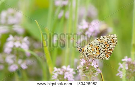 Monarch butterfly resting on a purple flower