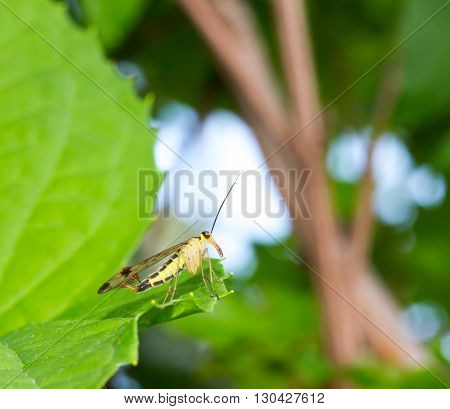 winged insect with a long proboscis scorpion fly on green leaf. selective focus