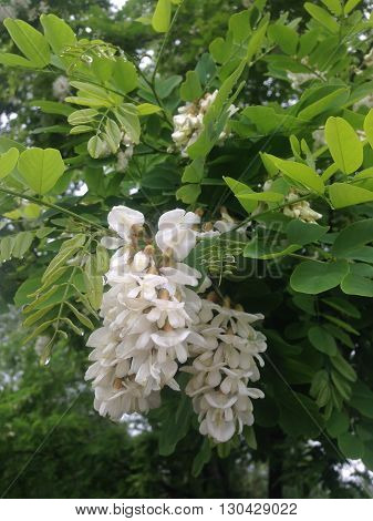 the White magic flowers on the tree in spring