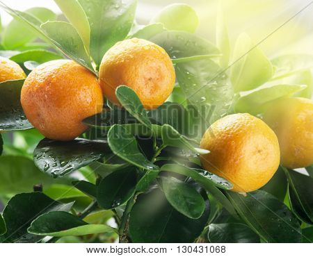Ripe tangerine fruits on the tree in the sunlight. Blue sky background