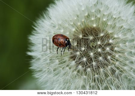 Ladybird on a dandelion seed head. Ladybird and dandelion