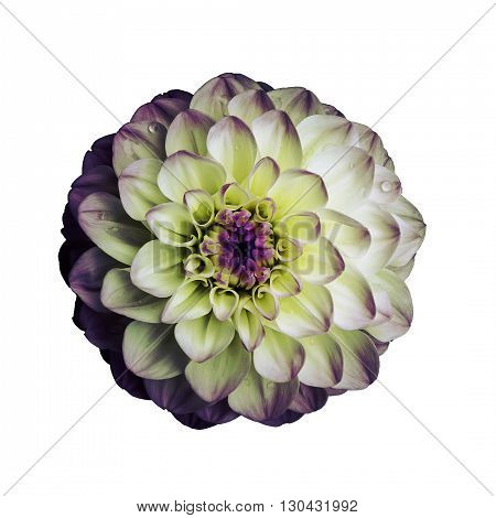 Dahlia flower isolated on white background. It can be used in website design and printing. Suitable for designers. Closeup. Lilac yellow.