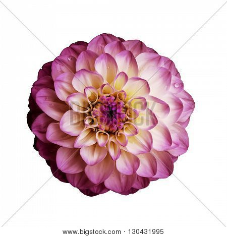 Dahlia flower isolated on white background. It can be used in website design and printing. Suitable for designers. Closeup. Pink.