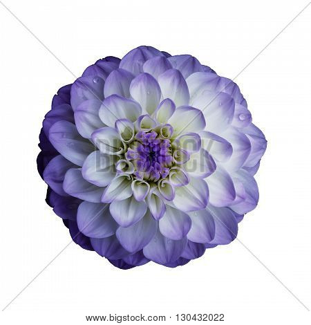 Dahlia flower isolated on white background. It can be used in website design and printing. Suitable for designers. Closeup. Lilac.