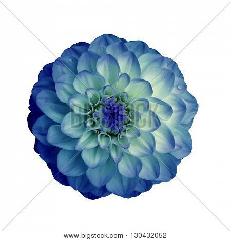 Dahlia flower isolated on white background. It can be used in website design and printing. Suitable for designers. Closeup. Blue cyan.