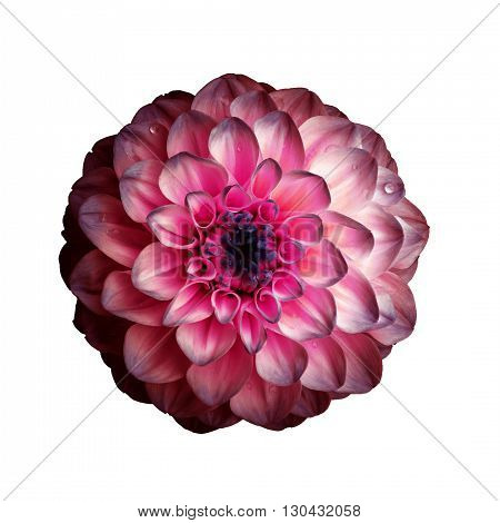 Dahlia flower isolated on white background. It can be used in website design and printing. Suitable for designers. Closeup. Red pink.