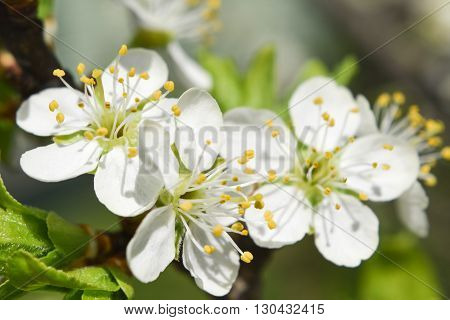 plum flowers blossoming in the spring toning soft focus closeup