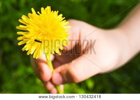 Child hand giving a dandelion on which the beetle sitting