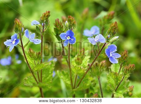 Blue small  flowers bird's-eye speedwell. Veronica chamaedrys.