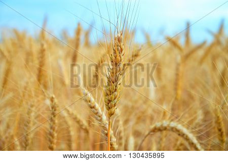 field of ripe wheat during clear day