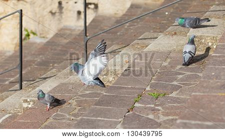 Doves on the stairs in the park. Pigeon spread his wings.