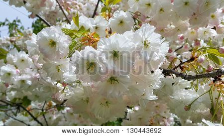 Branch of blooming spring tree with beautiful white flowers