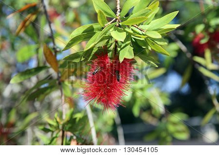 Bee is Resting on Red Calliandra Flower