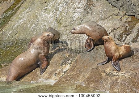 Stellar Sea Lions on a Rocky Coast in the Valdez Arm of Prince William Sound in Alaska