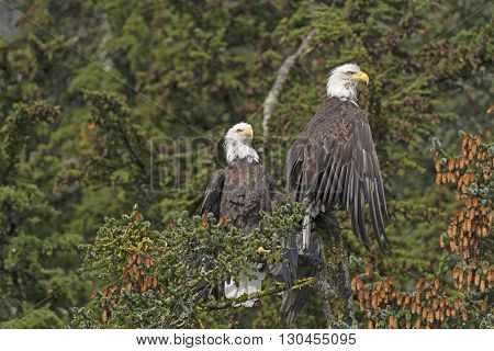 Two Bald Eagles in a Spruce Tree in the Valdez Arm of Prince William Sound in Alaska