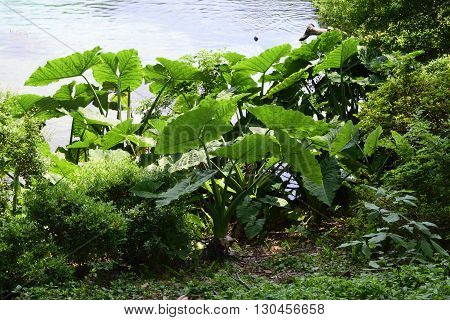 Colocasia Elephant Ear Plant in the Springtime at Florida State Park.
