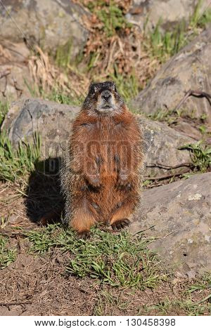 a marmot looks at the camera as it stands guard