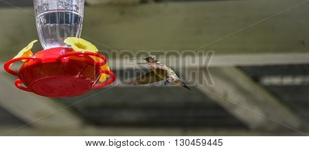 Ruby throated hummingbird (Archilochus colubris) in springtime at a sweet water nectar feeder.