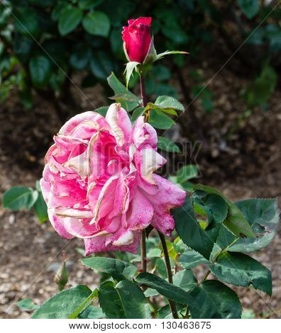 The First Prize Hybrid Tea Rose growing at Woodland Park Rose Garden in Seattle Washington