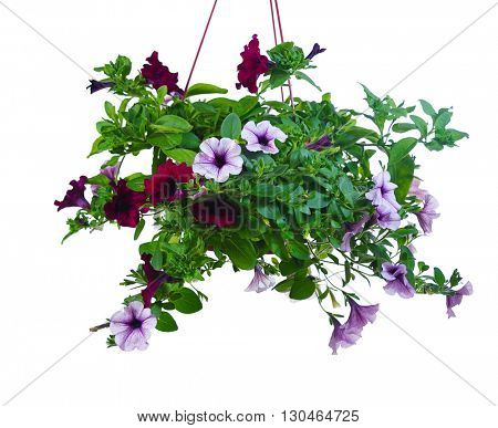 purple and lilac flowers of petunia in pot. isolated on white background
