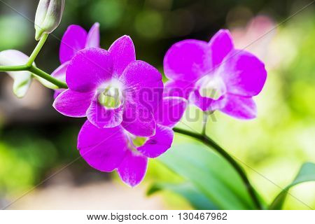 Purple orchid with white and colorful blooming beautifully.