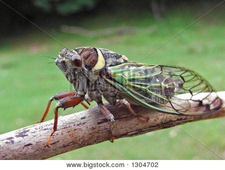 Cicada (Cicadetta Pellosoma)
