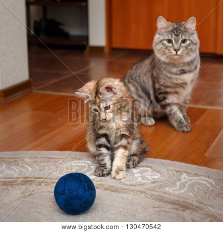Kuril Bobtail cat playing with a ball of yarn. Mama cat watching him. Thoroughbred cat. Cute and funny kitten. Pet.