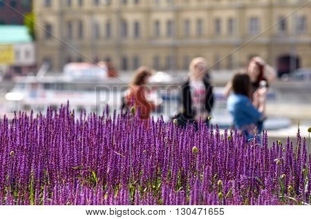 lavender lawn on the Crimean embankment. Moscow, Russia. in the background are vacationers people out of focus
