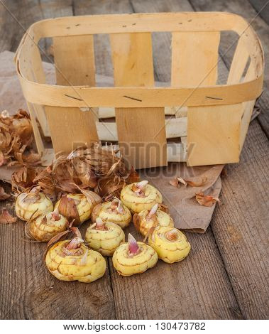 Gladiolus bulbs before planting on a wooden table