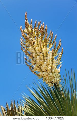 Yucca in bloom close up California USA